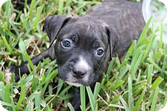 Dogs Of Ft Myers Adoption