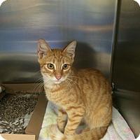 Domestic Mediumhair Cat for adoption in Lithia, Florida - Pekoe