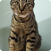 Domestic Shorthair Cat for adoption in Lake City, Florida - Freyja