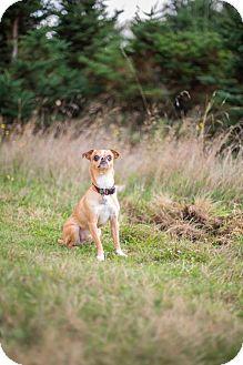 Chihuahua Dog for adoption in Portland, Oregon - Carson