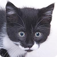 Adopt A Pet :: Starla - Chicago, IL