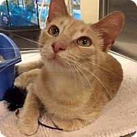 Domestic Shorthair Kitten for adoption in Barrington Hills, Illinois - Tyler
