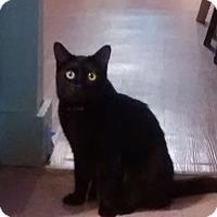 Domestic Shorthair Cat for adoption in Royal Oak, Michigan - Bella - Courtesy post