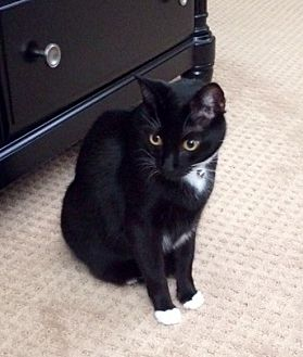 Domestic Shorthair Cat for adoption in Orange, California - Dawkins
