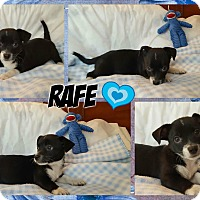 Adopt A Pet :: Rafe - Washington, DC