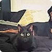 Adopt A Pet :: Cassiel - Chandler, AZ