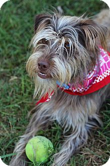 Schnauzer (Miniature)/Skye Terrier Mix Dog for adoption in Sherman, Connecticut - Taffy
