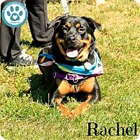 Adopt A Pet :: Rachel - Kimberton, PA
