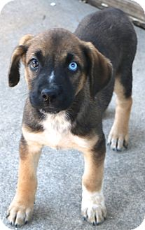 Labrador Retriever/Australian Shepherd Mix Dog for adoption in Woonsocket, Rhode Island - Tahoe - MEET ME