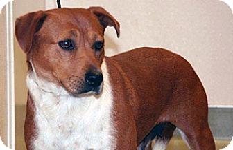 Shepherd (Unknown Type)/Labrador Retriever Mix Dog for adoption in Wildomar, California - Ariel