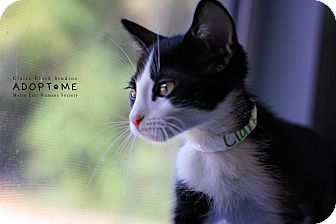 Domestic Shorthair Cat for adoption in Edwardsville, Illinois - Clark