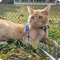Domestic Shorthair Cat for adoption in Shinnston, West Virginia - Chetty
