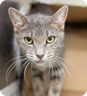 American Shorthair Cat for adoption in Lyons, Illinois - Mimi the Social Girl