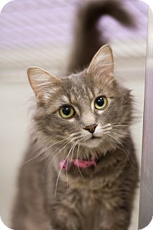 Domestic Longhair Cat for adoption in Grayslake, Illinois - Polka Dots