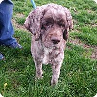 Cocker Spaniel Dog for adoption in Seattle, Washington - Bentley