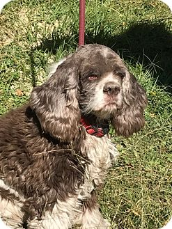 Cocker Spaniel Dog for adoption in Cape Coral, Florida - Freckles