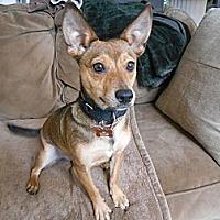 Chihuahua/Corgi Mix Dog for adoption in Malibu, California - CHIP