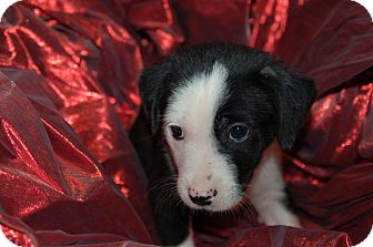 Labrador Retriever/Blue Heeler Mix Puppy for adoption in Lebanon, Tennessee - TOPANGA