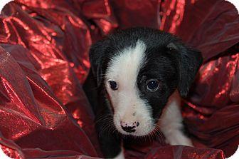 Labrador Retriever/Blue Heeler Mix Puppy for adoption in Lebanon, Tennessee - TOPANGA