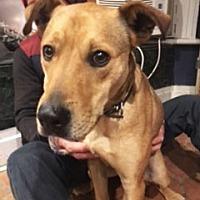 Labrador Retriever/Pharaoh Hound Mix Dog for adoption in NYC, New York - MEMPHIS