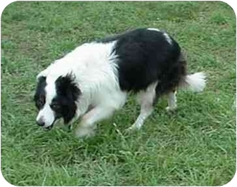Border Collie Dog for adoption in Tiffin, Ohio - Dillion