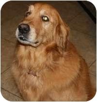 Golden Retriever Mix Dog for adoption in Scottsdale, Arizona - Rocky