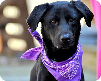Labrador Retriever/Flat-Coated Retriever Mix Dog for adoption in Sparta, New Jersey - Chloe