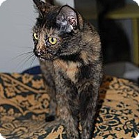 Domestic Shorthair Cat for adoption in New Port Richey, Florida - Neely