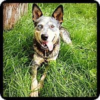 Adopt A Pet :: Konrad - Woodbridge, CT