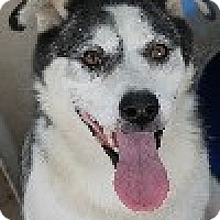 Husky Mix Dog for adoption in Savannah, Missouri - Sasha