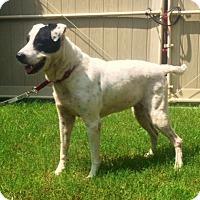 Adopt A Pet :: Katie - Tampa, FL