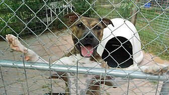 Pit Bull Terrier Mix Dog for adoption in Midlothian, Virginia - Tonka aka Tyson