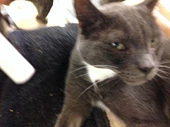 Domestic Shorthair Cat for adoption in Fresno, California - Kashmir