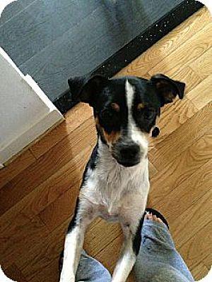 Rat Terrier Mix Dog for adoption in Burbank, California - Bella Luna