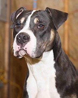 Rottweiler Dog for adoption in Rossville, Tennessee - NickLaus