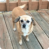Adopt A Pet :: Salsa - Wallingford Area, CT