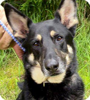 German Shepherd Dog Dog for adoption in Woodinville, Washington - Colt