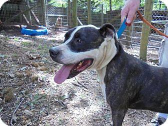 Pit Bull Terrier Dog for adoption in Blairsville, Georgia - Oreo