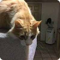 Domestic Longhair Cat for adoption in Medford, New York - Orange