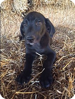 Labrador Retriever Mix Puppy for adoption in Hamburg, Pennsylvania - Collins