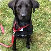 Labrador Retriever Mix Dog for adoption in Albany, New York - ROVER