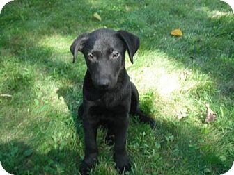 Labrador Retriever Mix Puppy for adoption in Brooklyn Center, Minnesota - Finley