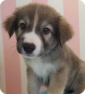 Husky/Shepherd (Unknown Type) Mix Puppy for adoption in CUMMING, Georgia - Maycee