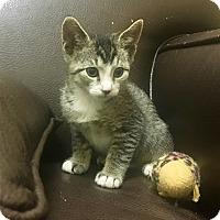 Abyssinian Kitten for adoption in Sherman Oaks, California - Chitin