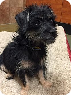 Yorkie, Yorkshire Terrier/Brussels Griffon Mix Dog for adoption in Long Beach, California - Gidget Girl