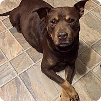 Adopt A Pet :: Luna - Raleigh, NC