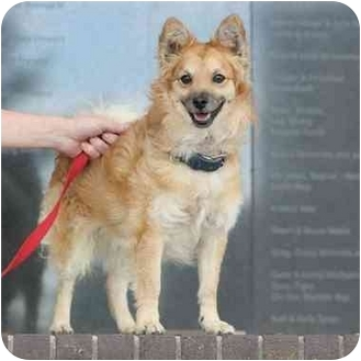 shiba inu mixed with pomeranian coco adopted dog denver co pomeranian shiba inu mix 3452