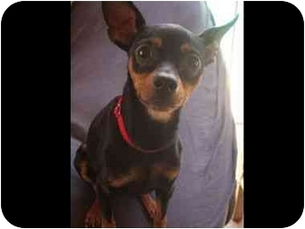 Miniature Pinscher Dog for adoption in Phoenix, Arizona - Minnietoo