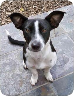 Jack | Adopted Dog | El Segundo, CA | Jack Russell Terrier ...