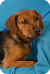 Hound (Unknown Type) Mix Puppy for adoption in Minneapolis, Minnesota - Brock